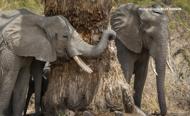 Photo of two African elephants with small tusks