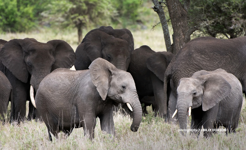 Photo of two young elephants standing with a large herd in the background