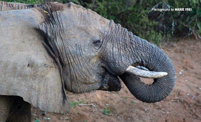 Close-up photo of young African elephant drinking water