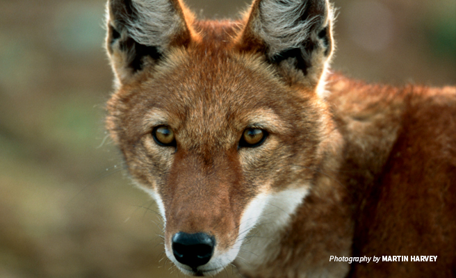 Close-up photo of a lone Ethiopian wolf