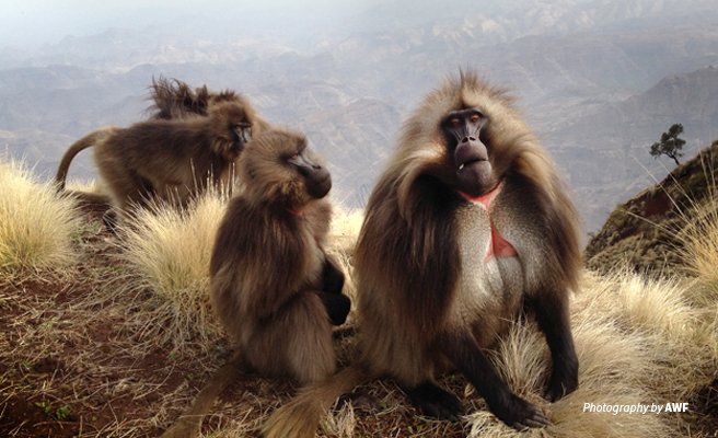 Photo of small herd of gelada monkeys with Ethiopian highlands