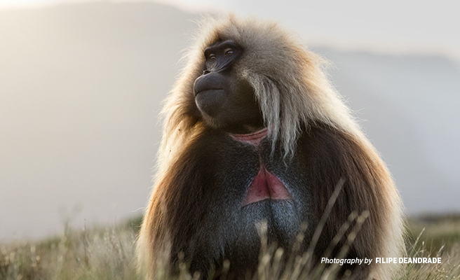 Close-up photo of gelada monkey in Ethiopia highlands
