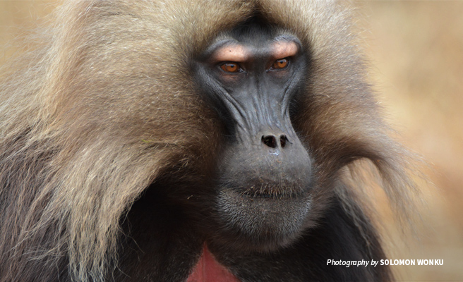 Close-up photo of a gelada baboon in the Simien Mountains landscape in Ethiopia