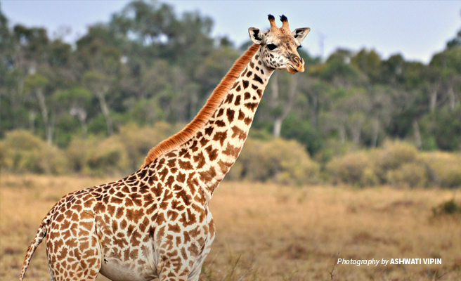 Close-up photo of a young Maasai giraffe in Kenyan savanna landscape