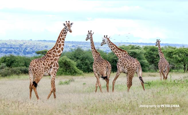 Photo of three giraffes grazing in open grassland in Manyara Ranch Conservancy in northern Tanzania