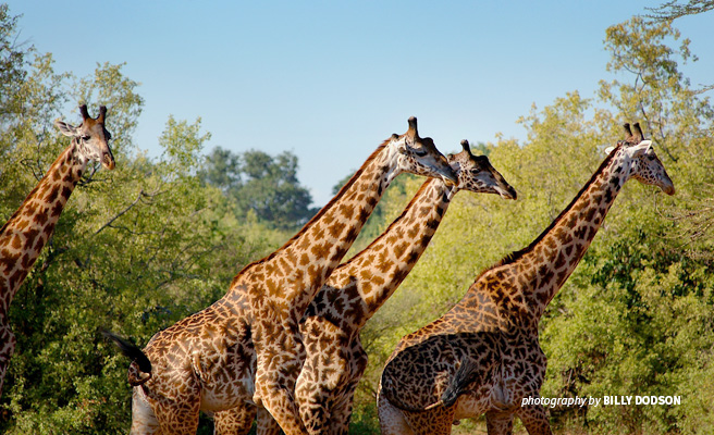 Photo of four adult giraffes browsing lush foliage in Manyara Ranch in Tanzania