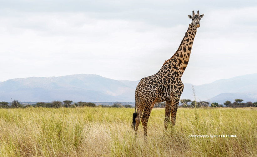 Photo of lone giraffe standing in open savanna grassland in Manyara Ranch conservancy