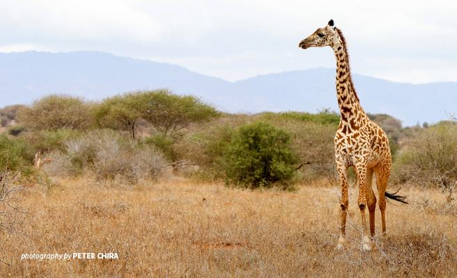 Photo of young giraffe in dry savannah grassland in Tsavo wildlife area in Kenya