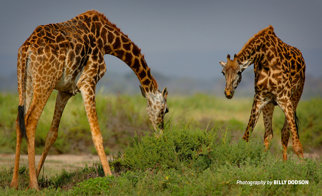 Photo of two Maasai giraffes bending down to forage in savanna grassland