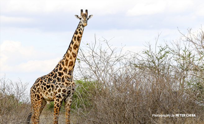 Photo of lone Maasai giraffe in Tsavo savanna grassland in Kenya