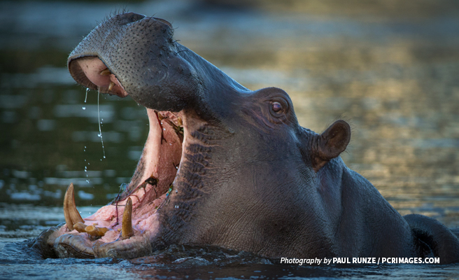 Close-up photo of lone African hippo submerged in water
