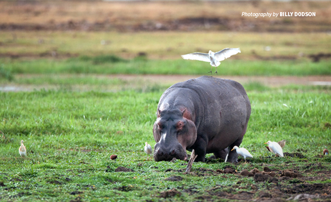 Photo of lone hippo grazing in lush African grassland