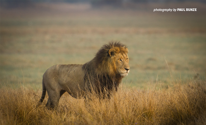 Photo of lone male lion standing in savannah grassland in Botswana