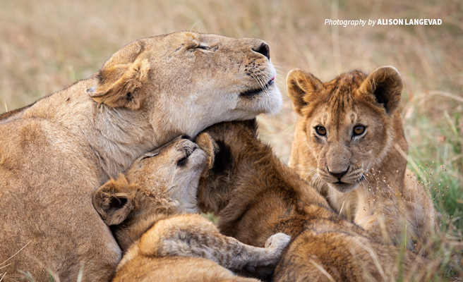 Photo of adult lion with three cubs in African savanna grassland