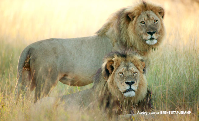 Cecil the lion and Jericho in Zimbabwe