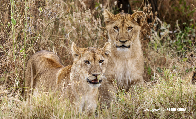 Close-up photo of two young lions in savanna grassland in Manyara Ranch conservancy