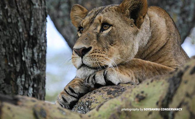 Close-up photo of lion resting in Soysambu Conservancy near Nakuru National Park, Kenya