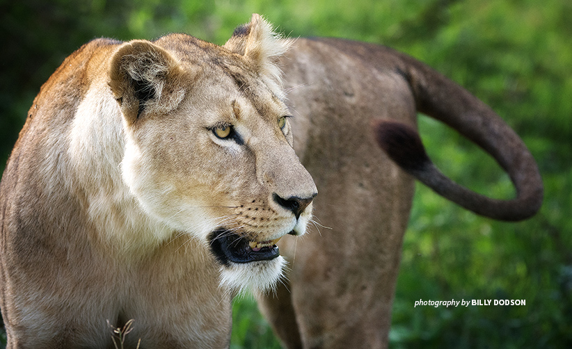 Close-up photo of lone lion in African savanna grassland