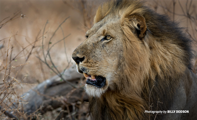 Close-up photo of a male African lion with dark mane