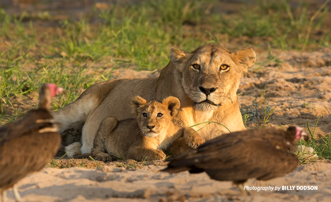 Photo of lion cub and lioness looking at guinea fowls in dusty savannah grassland
