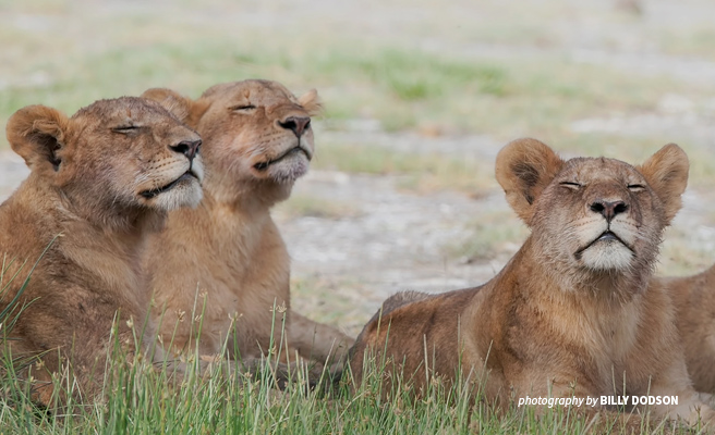 Close-up photo of three lion cubs sitting in short grass
