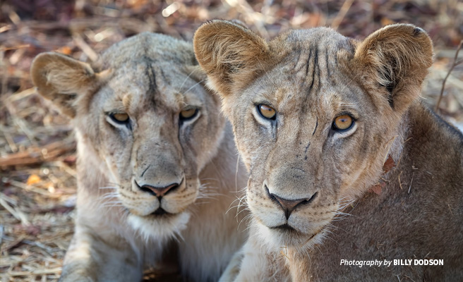 Close-up of two lions in Ruaha National Park