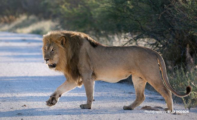 Photo of lone male lion in Namibia