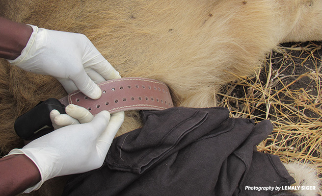 Close up image of a radio collar on a lion's neck