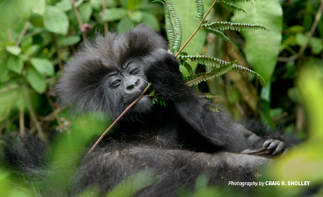 Close-up photo of infant mountain gorilla feeding with mother in forested habitat in Virunga mountains