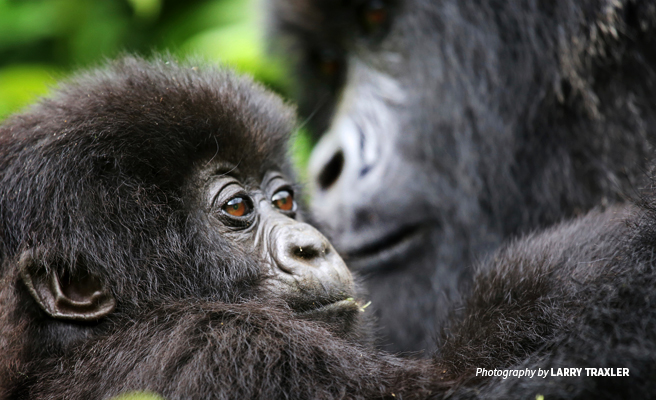 Close-up photo of baby mountain gorilla with adult mountain gorilla in background