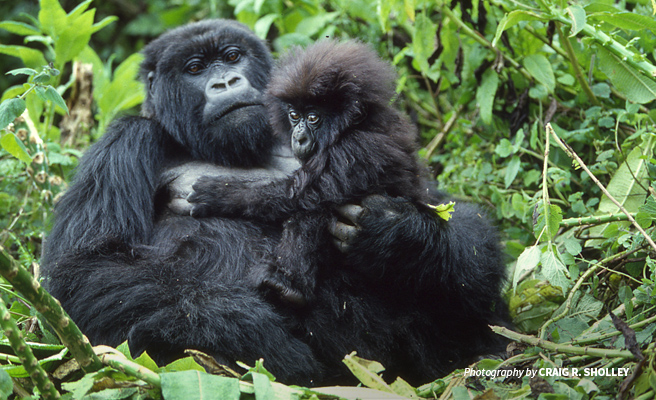 Photo of baby mountain gorilla with mother in forested habitat in the Virunga mountains