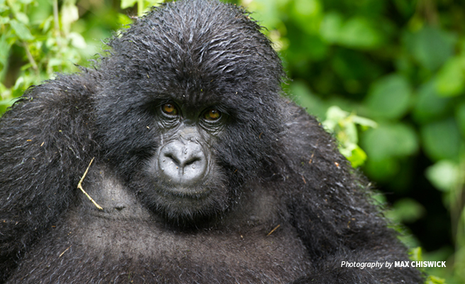 Photo of a lone adult mountain gorilla in the Virunga mountains landscape