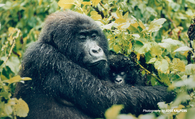 Close-up photo of adult and baby mountain gorilla in Virunga National Park in DRC