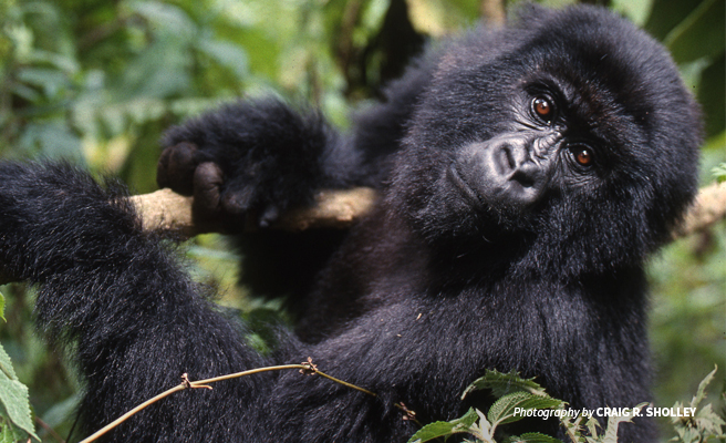 Photo of mountain gorilla gripping tree branch in Volcanoes National Park in Rwanda