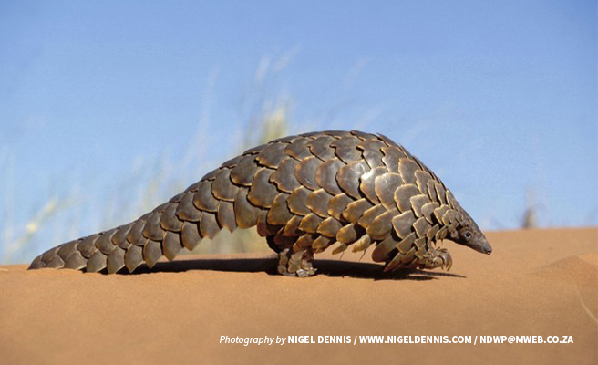 Photo of a single pangolin in the Kalahari plains