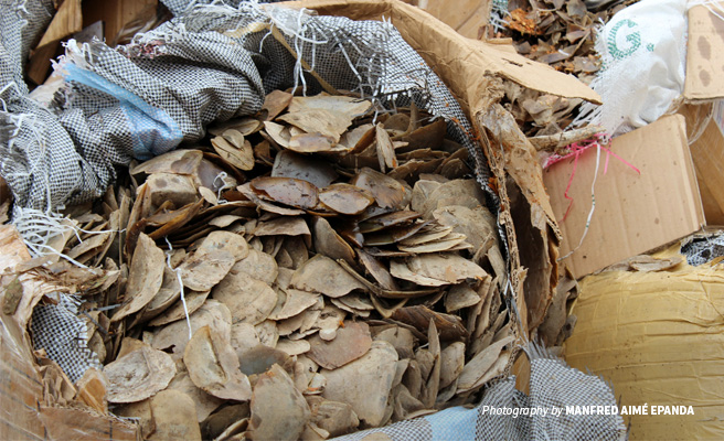Close-up of seized pangolin scales at the burn event in Cameroon