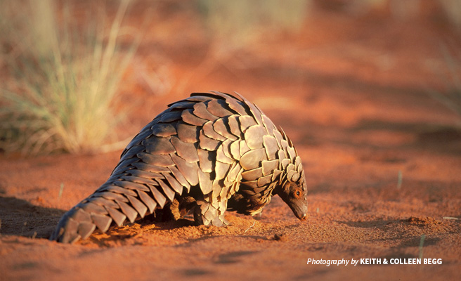 Photo of lone ground pangolin in southern Africa