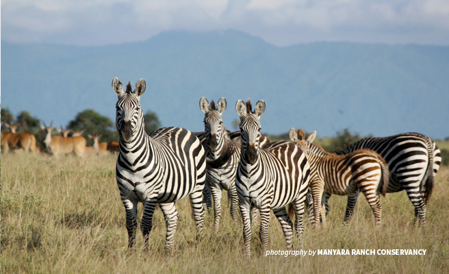 Photo of small group of zebra in foreground and antelopes in background in Manyara landscape