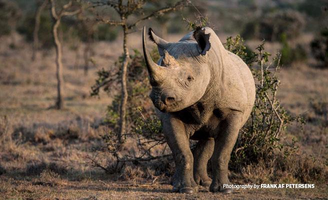 Black rhino at Ol Pejeta Conservancy in Kenya