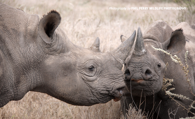 Close-up photo of adult hooklipped eastern black rhino and juvenile rhino