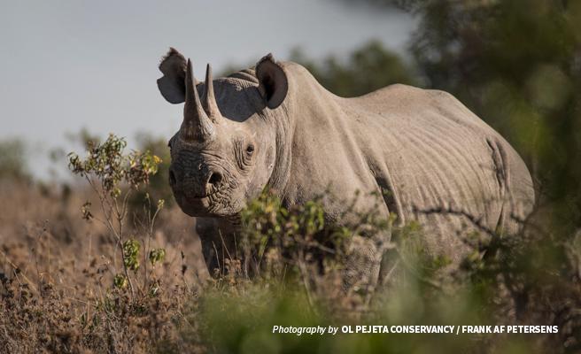 Photo of black rhino browsing at Ol Pejeta Conservancy in Kenya