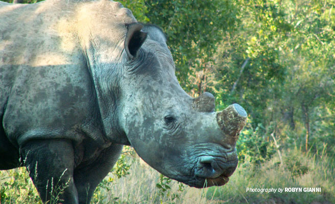 Photo of dehorned rhino in South Africa