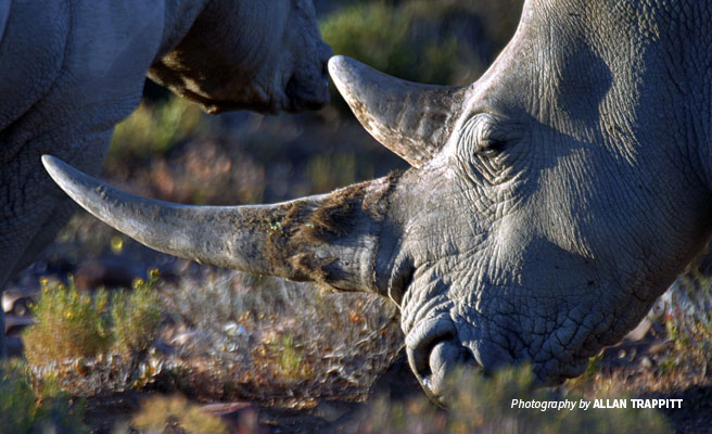 Close-up of grazing rhino showing full horns