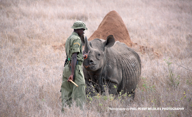 Photo of wildlife protection ranger with black rhino in African savanna grassland