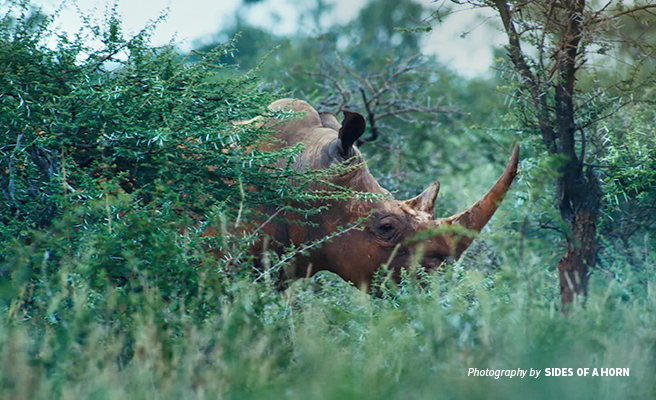 Close-up photo of a rhino grazing in tall shrubland in South Africa