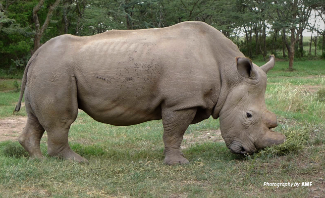 Photo of the last male northern white rhino in Ol Pejeta Conservancy in Kenya
