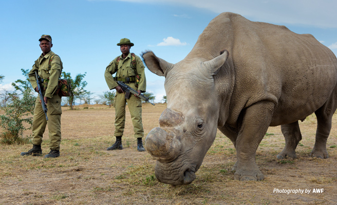 Photo of the last male northern white rhino in Ol Pejeta Conservancy under armed protection
