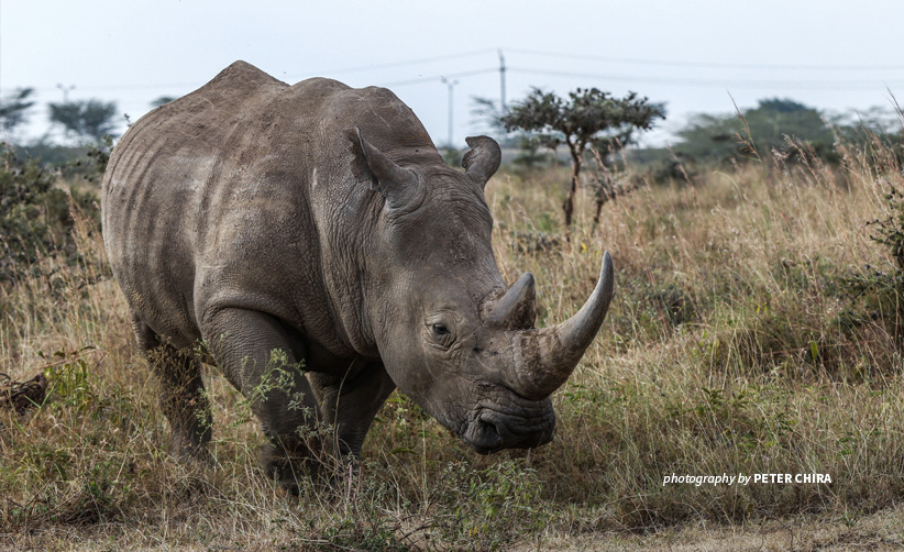 Close-up of photo of white rhino grazing in grassland in Nairobi National Park