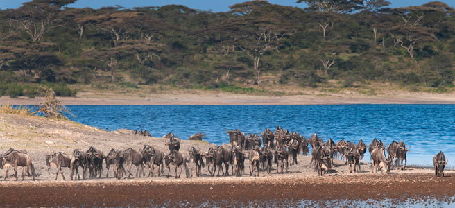 Photo of a herd of wildebeest on river bank in northern Tanzania's Serengeti National Park