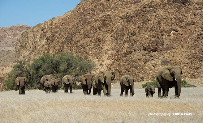 Elephant herd travels through Damaraland Namibia